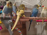 Pauraque Birds Photos