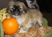 Pekingese Puppies for sale in Midland Park, NJ 07432, USA. price: NA