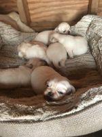 Pekingese Puppies for sale in Lakeland, FL, USA. price: NA