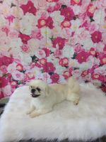 Pekingese Puppies for sale in Gastonia, NC, USA. price: NA