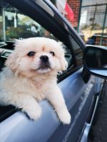 Pekingese Puppies for sale in East Windsor, NJ, USA. price: NA