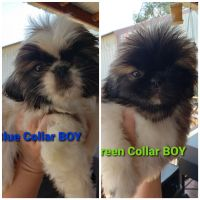Pekingese Puppies for sale in Jerome, ID 83338, USA. price: NA