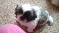 Pekingese Puppies for sale in Detroit, MI 48204, USA. price: NA
