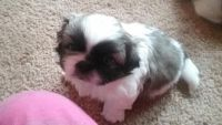 Pekingese Puppies for sale in North Kansas City, MO 64116, USA. price: NA