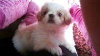 Pekingese Puppies for sale in Cincinnati, OH, USA. price: NA