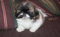 Pekingese Puppies for sale in Alva, FL 33920, USA. price: NA