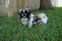Pekingese Puppies for sale in Miramar, FL, USA. price: NA