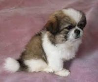 Pekingese Puppies for sale in Jersey City, NJ, USA. price: NA