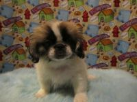 Pekingese Puppies for sale in San Antonio, TX, USA. price: NA