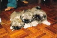 Pekingese Puppies for sale in Honolulu, HI, USA. price: NA