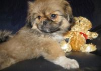 Pekingese Puppies for sale in Oregon City, OR 97045, USA. price: NA