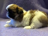 Pekingese Puppies for sale in Philadelphia, PA, USA. price: NA
