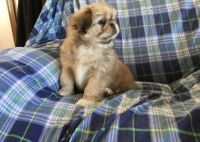 Pekingese Puppies for sale in Midway Atoll, United States. price: NA