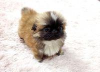 Pekingese Puppies for sale in Nashville, TN, USA. price: NA