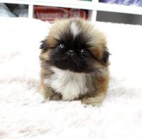 Pekingese Puppies for sale in Fresno, CA, USA. price: NA