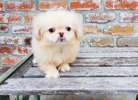 Pekingese Puppies for sale in Ashburn, VA, USA. price: NA