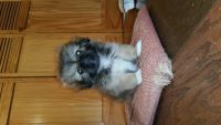 Pekingese Puppies for sale in . price: NA