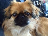 Pekingese Puppies for sale in Chicago, IL, USA. price: NA