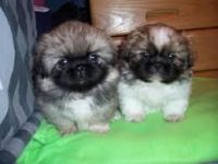 Pekingese Puppies for sale in Cokeville, WY 83114, USA. price: NA