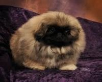 Pekingese Puppies for sale in Chattanooga, TN, USA. price: NA