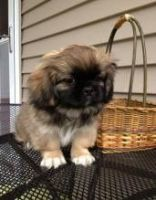 Pekingese Puppies for sale in Los Angeles, CA, USA. price: NA