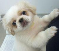 Pekingese Puppies for sale in Birmingham, AL, USA. price: NA