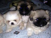 Pekingese Puppies for sale in Berkeley, CA, USA. price: NA