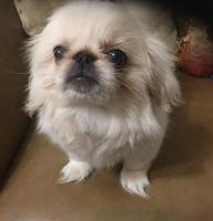Pekingese Puppies for sale in Abilene, TX, USA. price: NA