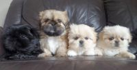 Pekingese Puppies for sale in El Paso, TX, USA. price: NA