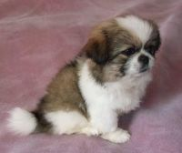 Pekingese Puppies for sale in Rapid City, SD, USA. price: NA