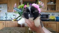 Pekingese Puppies for sale in Minneapolis, MN, USA. price: NA