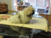 Pekingese Puppies for sale in Baywood-Los Osos, CA 93402, USA. price: NA