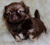 Pekingese Puppies for sale in San Diego, CA, USA. price: NA