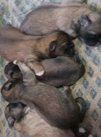 Pekingese Puppies for sale in DeKalb, IL, USA. price: NA