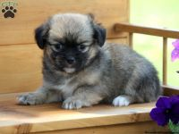 Pekingese Puppies for sale in Texas City, TX, USA. price: NA
