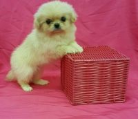 Pekingese Puppies for sale in Virginia Beach, VA, USA. price: NA