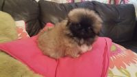 Pekingese Puppies for sale in Portland, OR, USA. price: NA