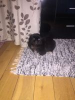 Pekingese Puppies for sale in Rockford, IL, USA. price: NA
