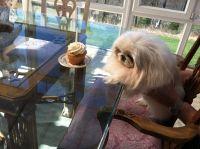 Pekingese Puppies for sale in Argyle, TX 76226, USA. price: NA
