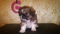 Pekingese Puppies for sale in Waterbury, CT, USA. price: NA