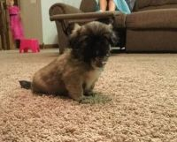 Pekingese Puppies for sale in Aliso Viejo, CA, USA. price: NA