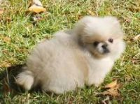 Pekingese Puppies for sale in San Francisco, CA, USA. price: NA