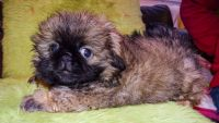 Pekingese Puppies for sale in Indianapolis, IN 46259, USA. price: NA