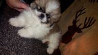 Pekingese Puppies for sale in Canal Winchester, OH 43110, USA. price: NA