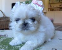 Pekingese Puppies for sale in United States. price: NA