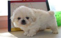 Pekingese Puppies for sale in Austin St, Corpus Christi, TX, USA. price: NA