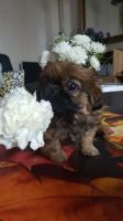 Pekingese Puppies for sale in Florida City, FL, USA. price: NA