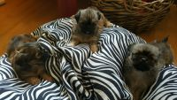 Pekingese Puppies for sale in Robbins, NC, USA. price: NA