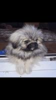 Pekingese Puppies for sale in Detroit, MI, USA. price: NA