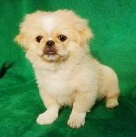 Pekingese Puppies for sale in Orlando, FL, USA. price: NA